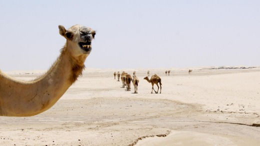 The camels that roam the area during the day know which farm to head to at night.