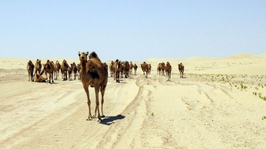 Road block: Confronted by a herd of camels.