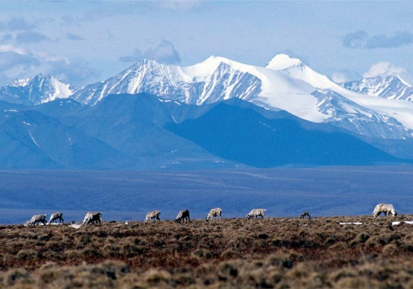 Caribou grazing in the Arctic National Wildlife Refuge, Alaska.