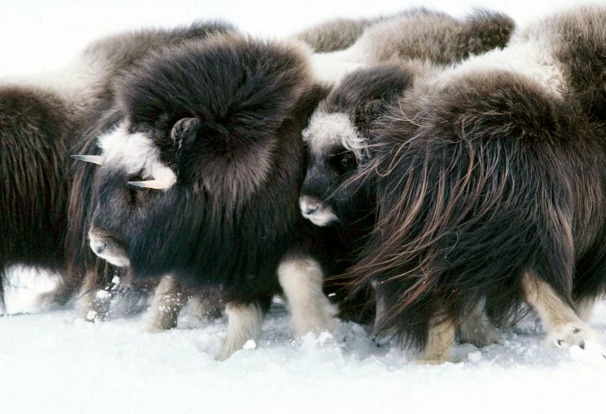 A herd of musk ox in the Arctic National Wildlife Refuge, Alaska.