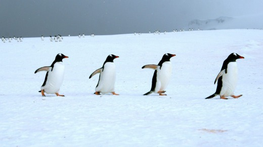 The penguin procession in early November is rarely witnessed.