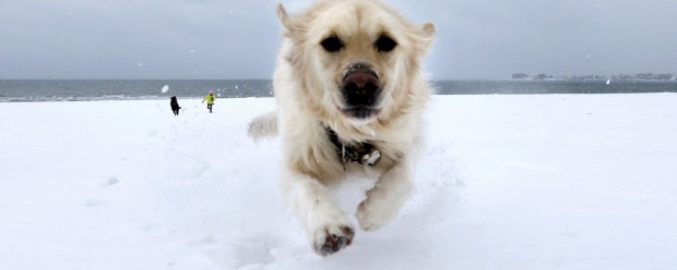 Crystal, a golden retriever, dashes through the snow as she gets away from Danielle Reid, who was walking dogs with her mom, at Revere Beach in Revere, Massachussets.
