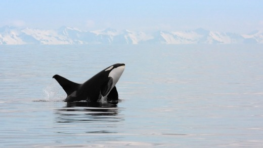 A killer whale breaches in the waters of Alaska