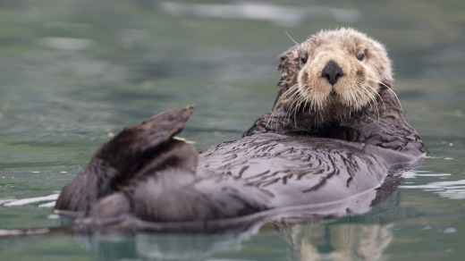 A sea otter floats in Resurrection Bay near Seward, Alaska.