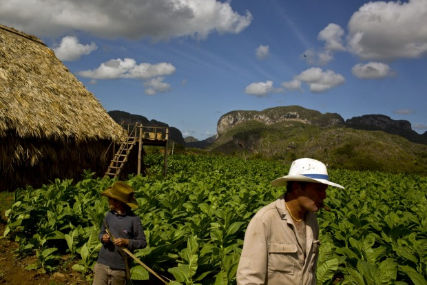 A farmer smokes a cigar while working in a tobacco field in Vinales, Cuba.