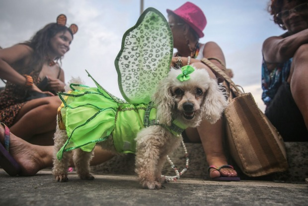 A costumed dog stands during a 'bloco' street parade honoring pets, specifically dogs, during pre-Carnival festivities ...
