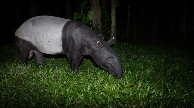 The Night Safari is the world's first nocturnal zoo that only operates once the sun goes down.