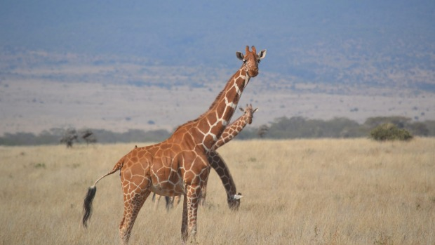 This photo was taken in Tanzania while on safari in September 2013. This is not a photo of a 3 headed giraffe but of 3 ...