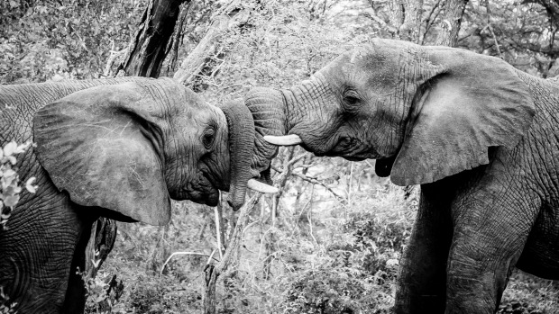 Having only previously seen docile elephants in zoos, we were amazed to see these two characters jostling with each ...
