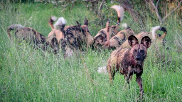 We could see the frenzy, hear the crunching, and smell the fresh blood of this pack of African wild dogs with their ...