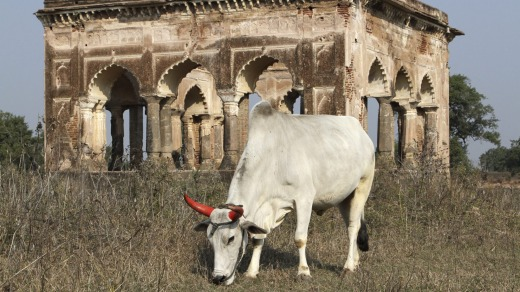 A cow grazes on the grounds near Mogul Queen Mumtaz Mahal's first resting place after death in Burhanpur, India.