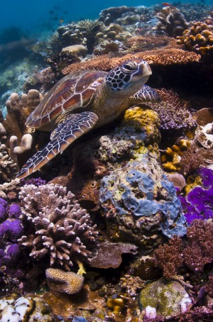 A small sea turtle rests on a coral reef, Sipadan Island.