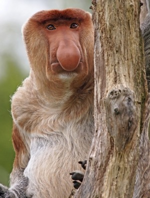The proboscis monkey: There's something very French about the soulful eyes and fleshy nose of the proboscis monkey, ...