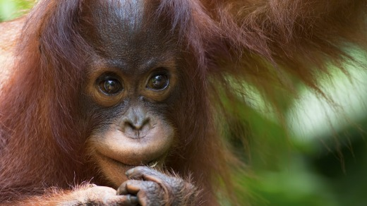Orangutans have an openness that's almost baby-like.