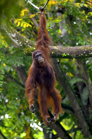 Palm oil plantations have cost Borneo's orangutans through destruction of their jungle habitat.