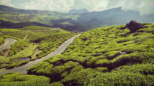 Green tea plantations in the mountains in Munnar, Kerala.