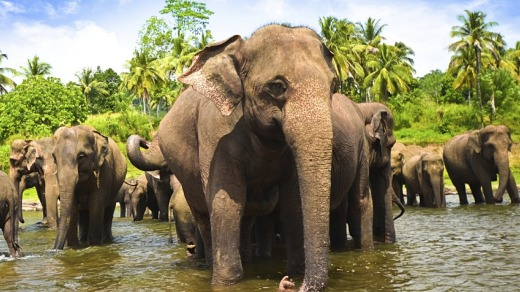 A herd of elephants in Sri Lanka.