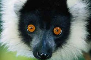 Leaps and bounds ... a black-and-white ruffed lemur.