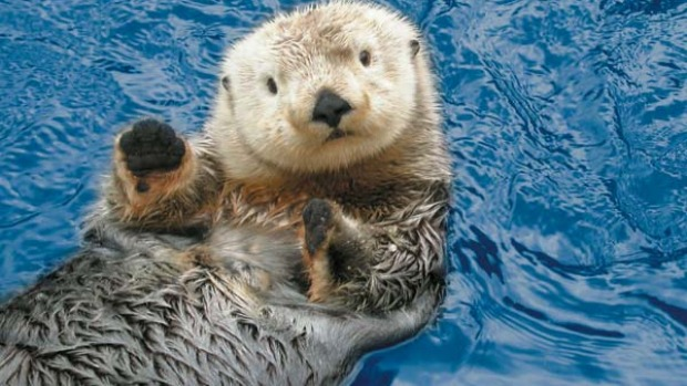 Too cute ... a sea otter at Vancouver Aquarium.