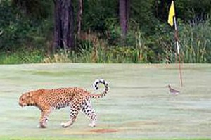 Leopard on golf course in South Africa, Kruger Park. Skukuza golf course.