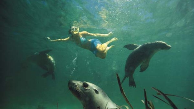 Swimming with sea lions at Baird Bay.