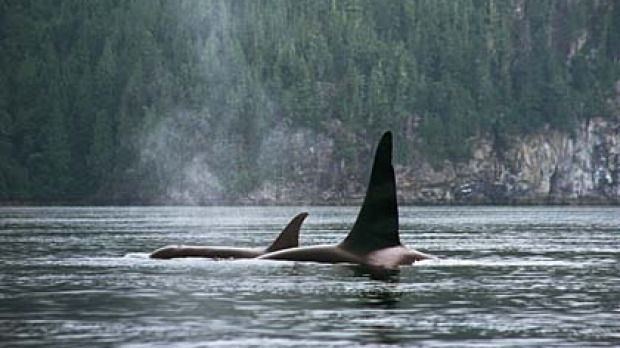 Killers on the loose ... orcas off Vancouver Island.