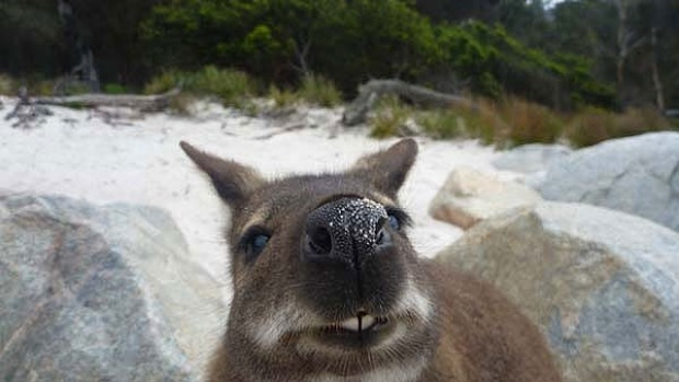 A curious  Bennetts wallaby at Wineglass Bay.