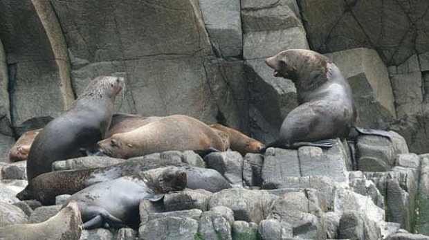 The fur seals vie for a comfortable perch on a rocky outcrop in the Southern Ocean off Bruny Island.