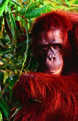 Jungle sanctuary ... an old orang-utan in Tanjung Puting National Park.