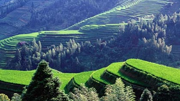 Work of art ... the rice terraces of Ping'an.