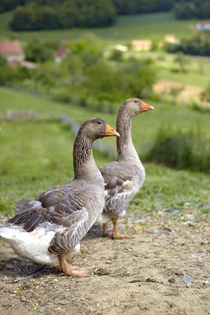 Free range ... geese at Ferme du Vignal. Seeing how they are bred and fed for foie gras may make the practice easier to ...
