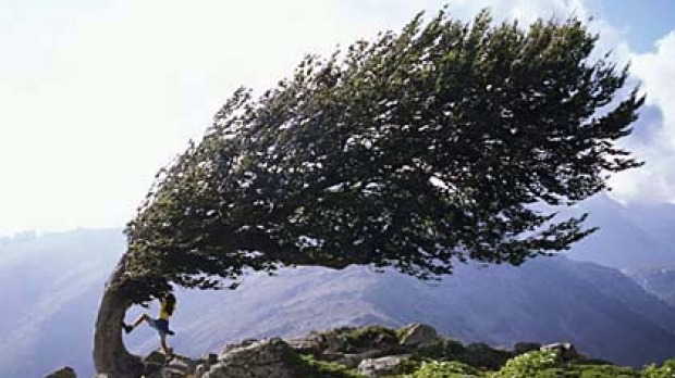 Hidden beauty ... a wind-ravaged beech tree on a mountain pass.