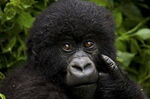 Portrait of a juvenile mountain gorilla, Volcanoes National
