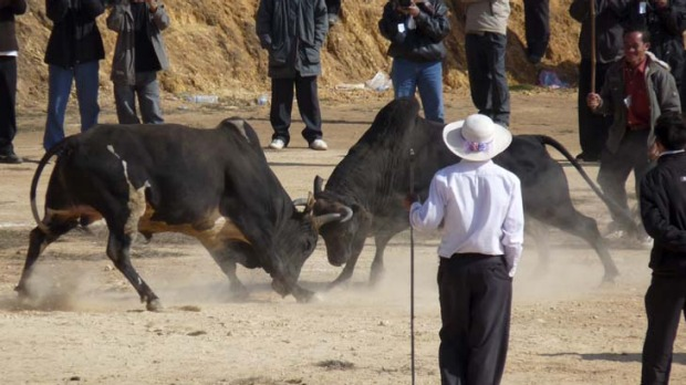 Man versus beast ... not in Laos, it's all bull.