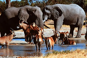 Beauty and beasts ... animal numbers in the Okavango Delta, Botswana, are declining.