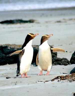 Paired up ... yellow-eyed penguins on the Otago Peninsula.