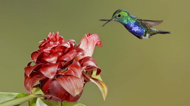 Feeling twitchy ... a violet-bellied hummingbird.