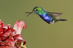 Violet-bellied Hummingbird (Damophila julie) feeding at a flower while flying, Bueneventura Lodge, Ecuador.