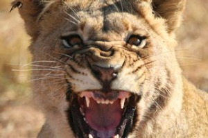 Close up of the head of a lion (Panthera leo).