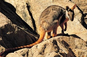 Yellow Footed Rock Wallaby, Flinders Ranges