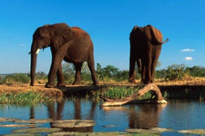 African Bush Elephants (