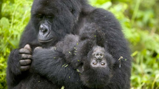 Life-changing experience ... meeting gorillas in Democratic Republic of Congo.