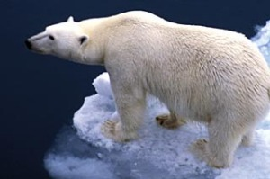 On thick ice ... polar bears outnumber humans.