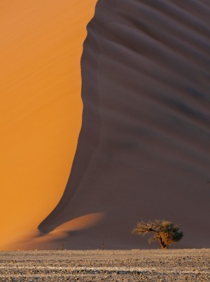 An acacia is dwarfed by a Namibian sand dune.