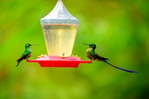Hummingbirds are fed honeywater at the lodge's feeding station.
