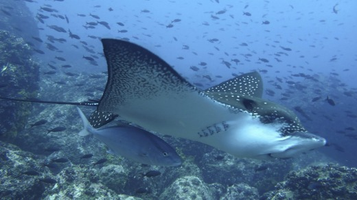 Eagle ray, Galapagos Islands.