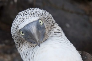 The blue-footed boobie.