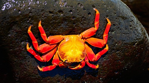 A Sally Lightfoot crab on the rocks.
