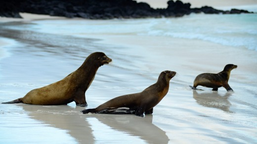 Sea lions, San Cristobal, Galapagos Islands.