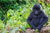 A baby gorilla in the Congo jungle.